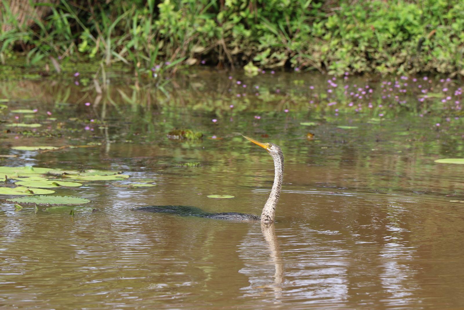 Tämän linnun nimi oli oppaan mukaan käärmelintu (snake bird).