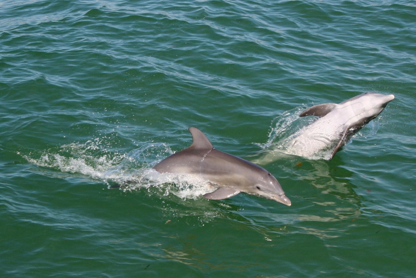 Laivaretkellä Cabbage Key -saarelle delfiinit hyppivät vanavedessämme. Yhteistyössä: Norwegianin luottokortti.