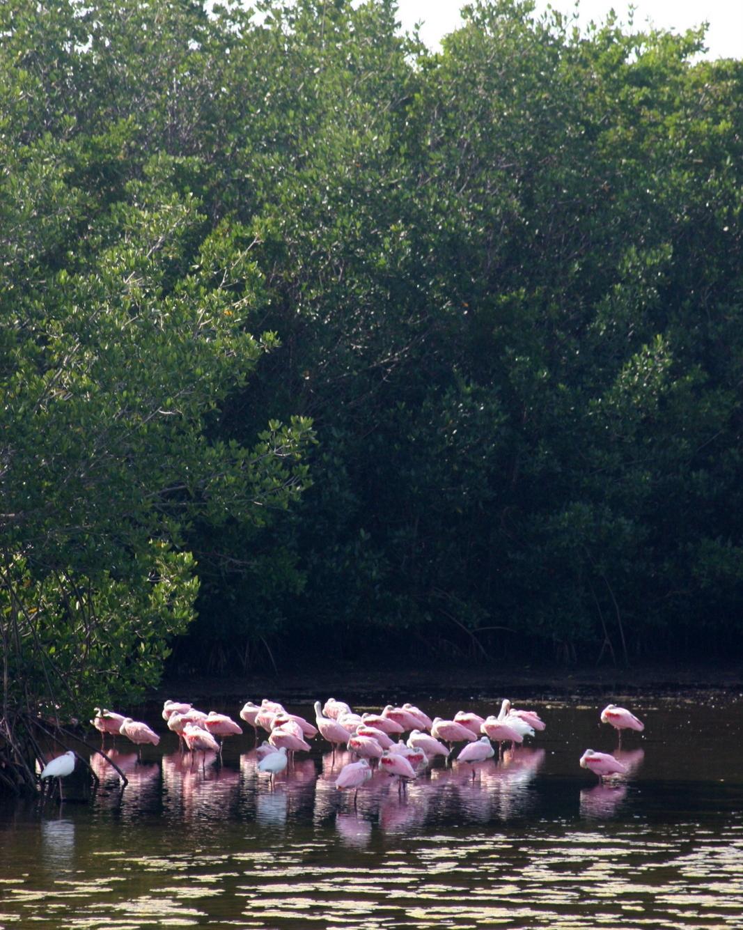 Flamingoja, J.N. Ding Darling Wildlife Refuge. Yhteistyössä: Norwegianin luottokortti.