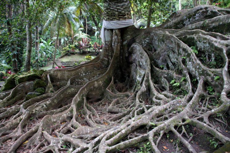 Kuvia Balilta. Goa Gajah -temppeli, puun juurakko.
