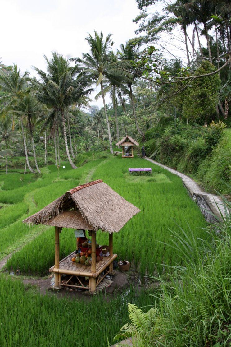 Kuvia Balilta. Edelleen riisiterasseja Gunung Kawi-temppelin vieressä.