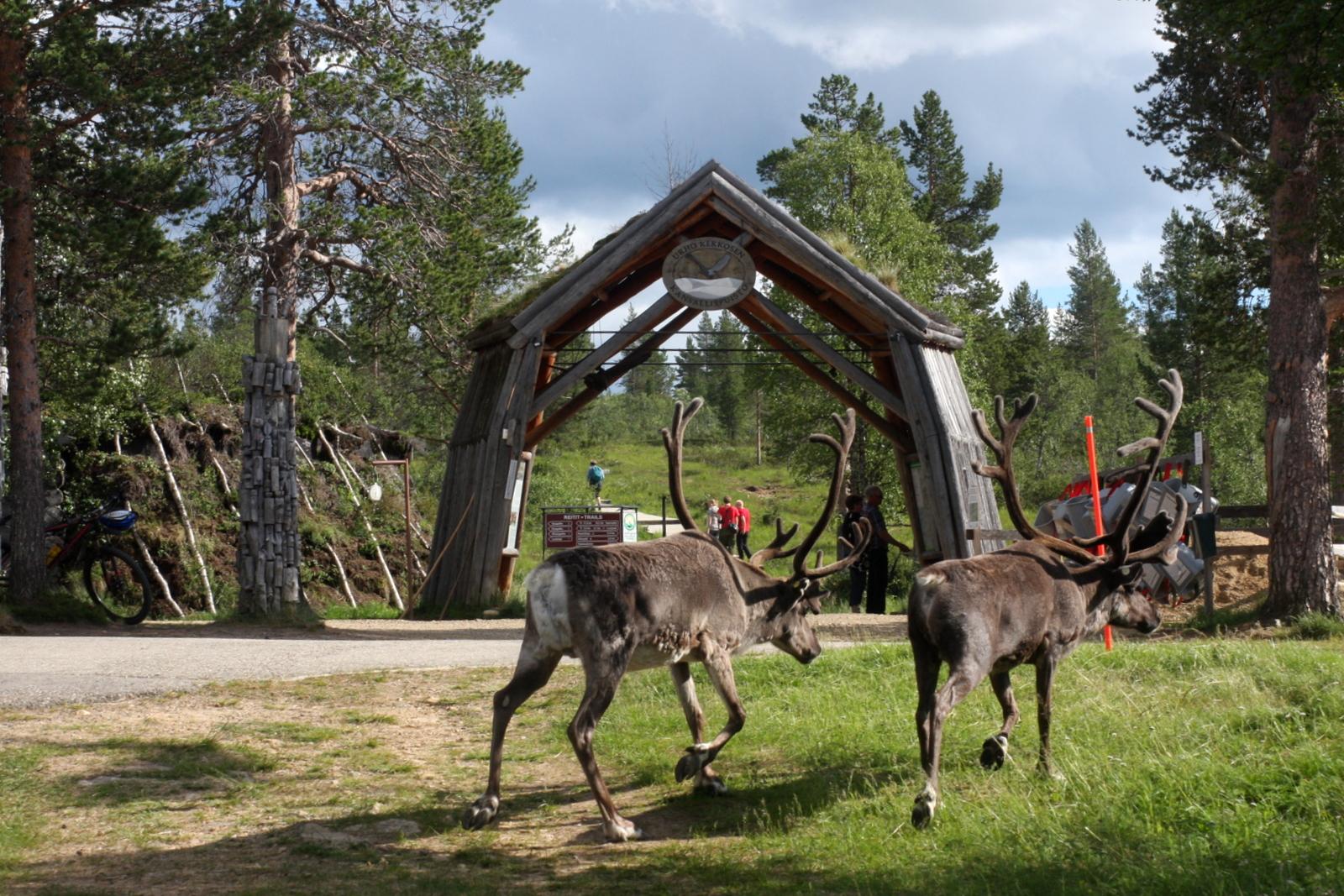 Kiilopää, Saariselkä. Porotkin jolkuttelivat kohti kansallispuiston porttia, vaellusten alkupistettä.