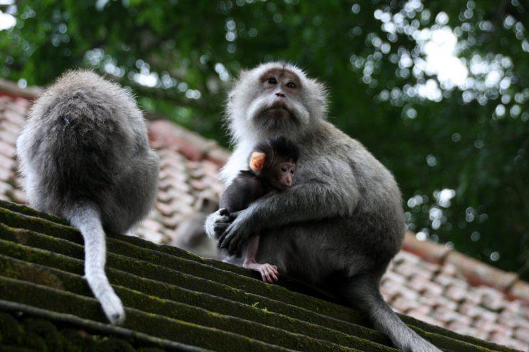 Kuvia Balilta. Ubud, Monkey Forest.