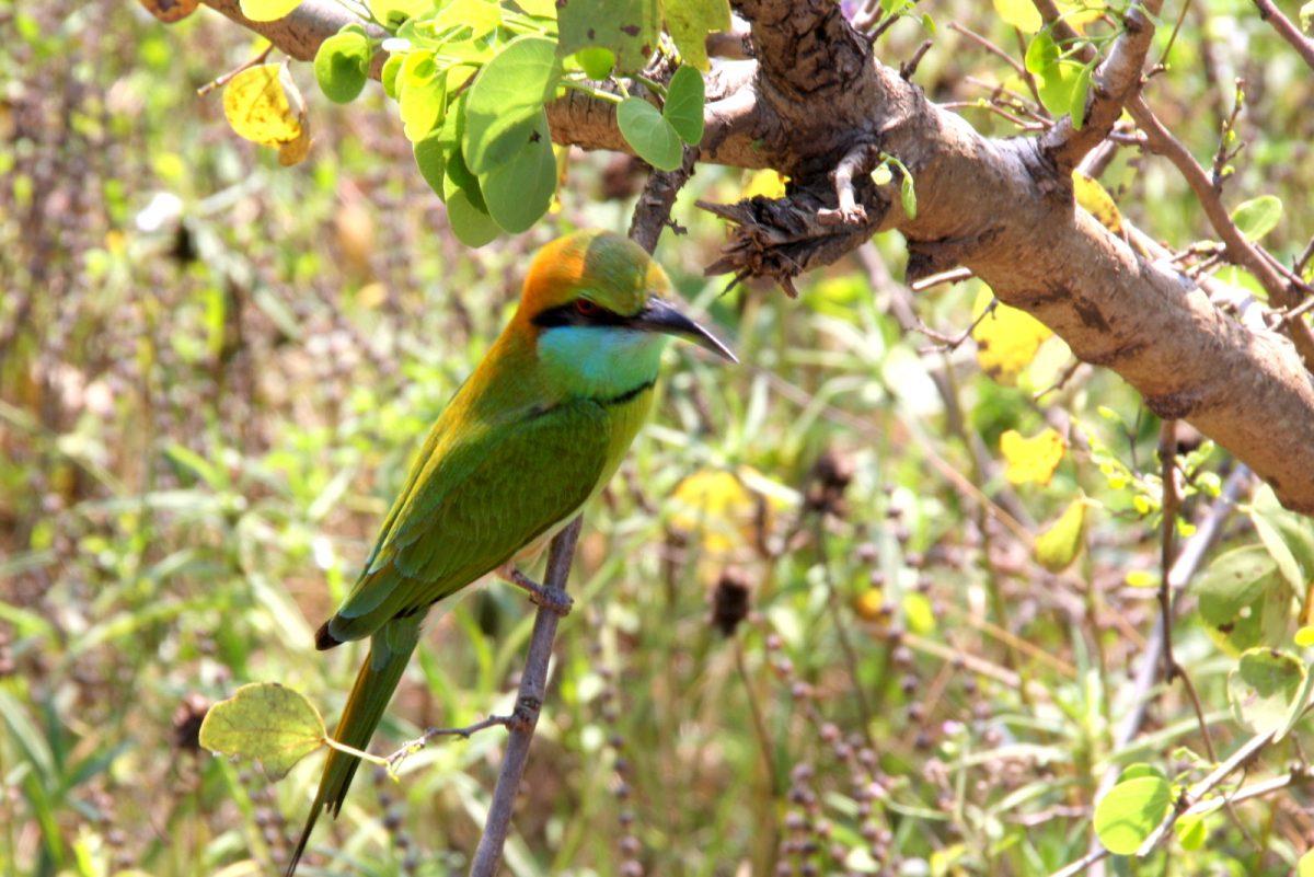 Udawalawe National Park - lintu oksalla