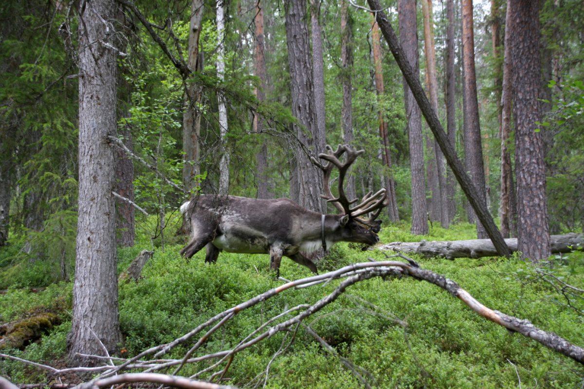 Noitatunturi - poro metsässä.